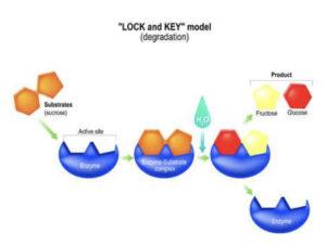 enzimele digestive cauzează pierderea în greutate